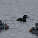 harlequin_in_the_decoys