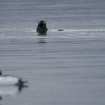 otter_and_decoy