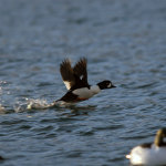 sea_duck_hunting_36