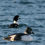 sea_duck_hunting_38
