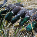 sea_duck_hunting_56