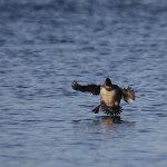 sea_ducks_29