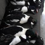 sea_ducks_8