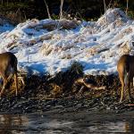 sitka_deer