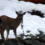 sitka_deer_7